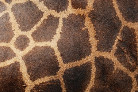 animal watching: The genuine leather skin of giraffe in zoo