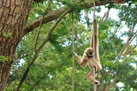 The brown gibbon hanging on tree in the zoo