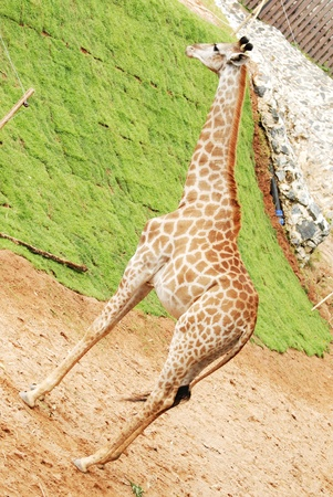 The giraffe on neck standing alert in zoo photo