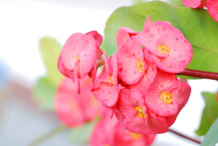 plantlet: The Euphorbia Milii flower in the garden Thailand Stock Photo