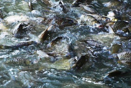 The many fish feeding in the pond.  Stock Photo - 13871093