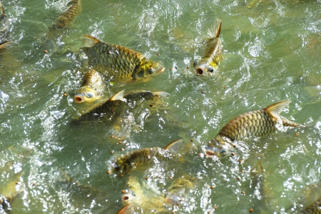 The school of fish in pond feeding Stock Photo - 13917768