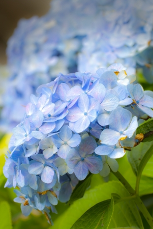 Violet flowers of Hydrangea Hortensia Ajisai plant in garden  photo