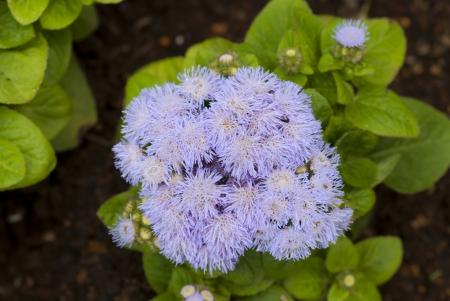 The blue flower border in japanese garden photo