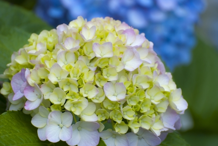 The Hydrangea flower close up in Japan photo