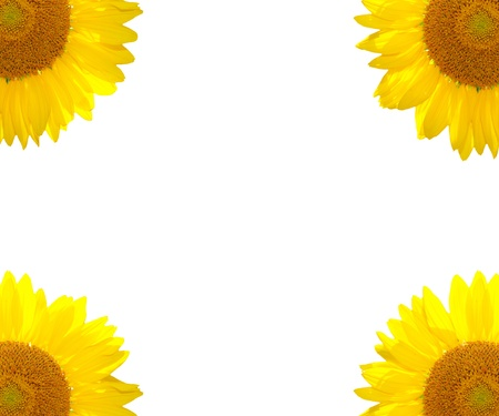 The sunflower nature on the summer background photo