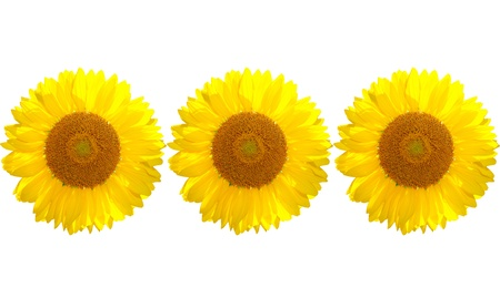 The beautiful yellow Sunflower on the white background photo