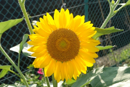 The close up of sunflower in the garden Stock Photo - 14448958