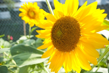The close up of sunflower in the garden Stock Photo