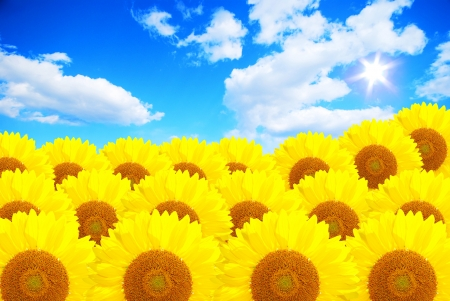 The summer sun over the sunflower field photo
