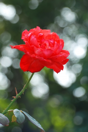 The red rose beautiful in the Garden photo