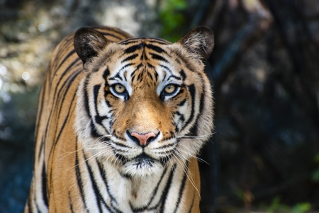 wild asia: The big Bengal tiger growls