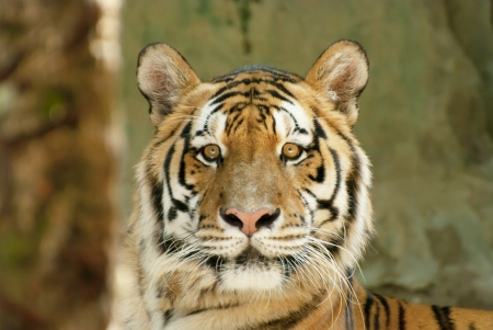 The Bengal tiger zoom face in the zoo Thailand photo