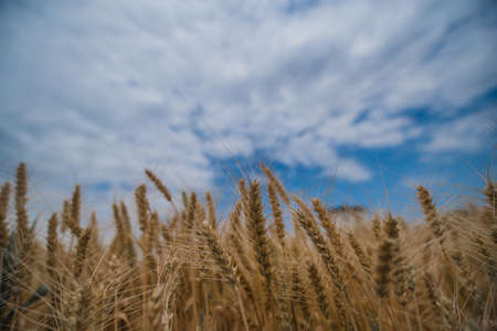 Wheat under the blue sky Stok Fotoğraf