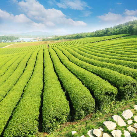 tea Plantations photo