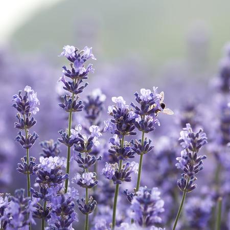 lavender Imagens