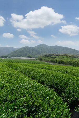 Green tea plantations in spring