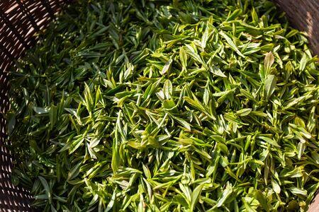 Fresh tea leaves in bamboo basket