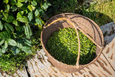 Freshly picked tea leaves Imagens