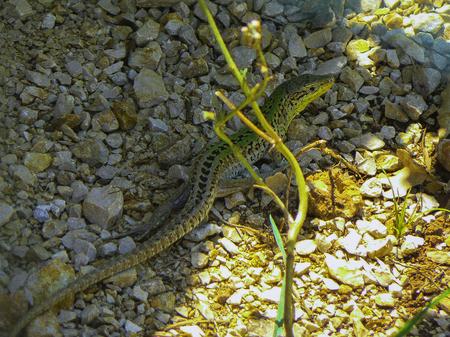 Lizard in Croatia