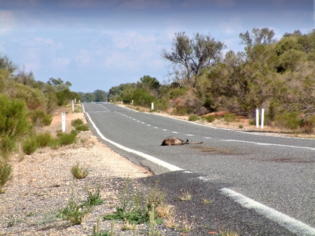 swerve: Car caused road kill carnage on outback high speed road or highway Australia. Kangaroo lays dead