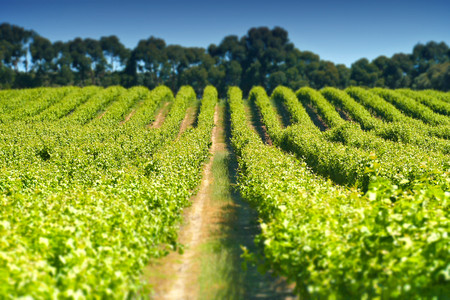 Views of vineyard in Coonawarra region Australia featuring rows of grapes ands vines