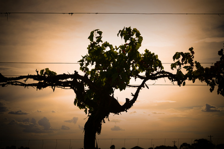 irrigated: Winery vineyard and silhouette of vines on dusk featuring rows of vines, grapes or sultanas on wire. Filmed Mildura, Victoria. Stock Photo