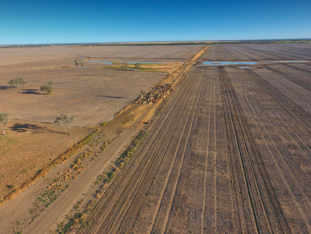 Aerial view of Outback Cattle mustering featuring herd of livestock cows and bulls in drought and dusty area. Ready for auction and cattle yards. Complete with sheep dogs and cowboy farmers. Stock fotó - 82949456