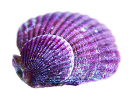 idealistic: Purple sea shell Stock Photo