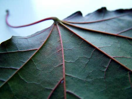 browns: Close up of Leaf vanes