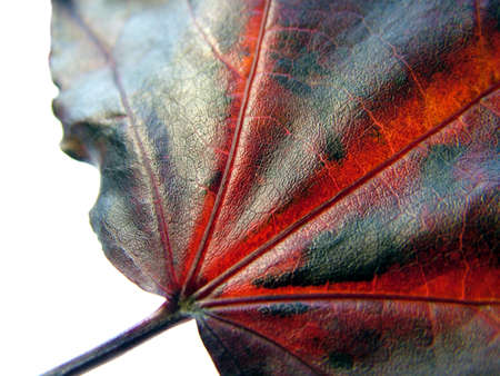 redish: Close up of Leaf vanes