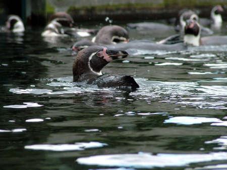 Penguins swimming photo