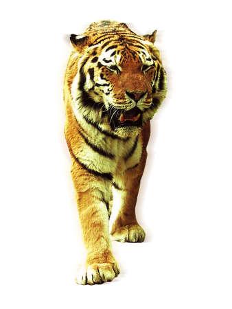 life threatening: Tiger