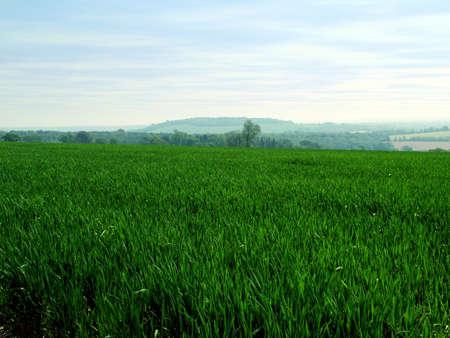 wheatfield: field of crops
