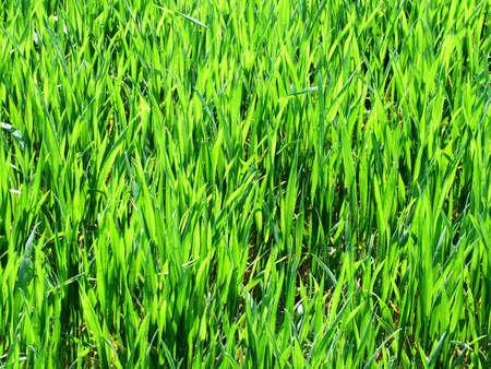 cropcircle: crops Stock Photo