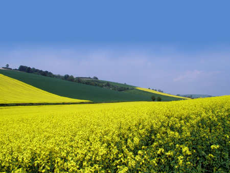 Yellow Field photo