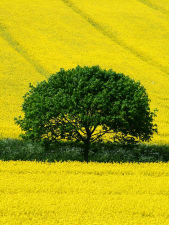 tree in yellow fields photo