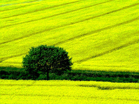 tree yellow fields photo