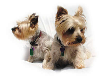 yorky: Yorshire terriers