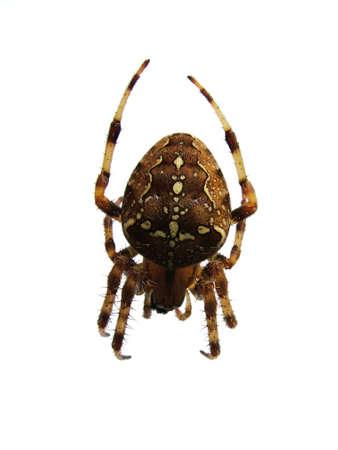 pinchers: spider on white background
