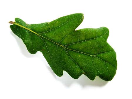 Acorn leaf Stock Photo - 380365
