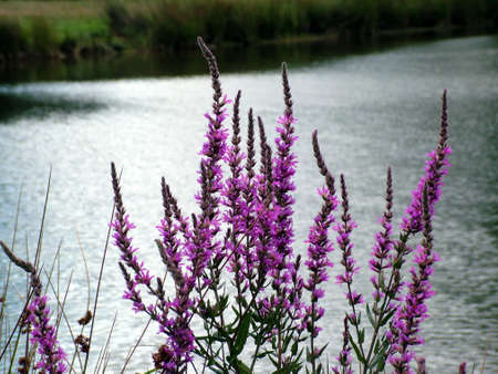 wild purple flowers photo