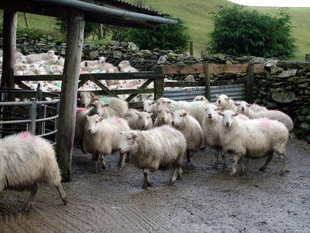 shepherd sheep: Sheep pen