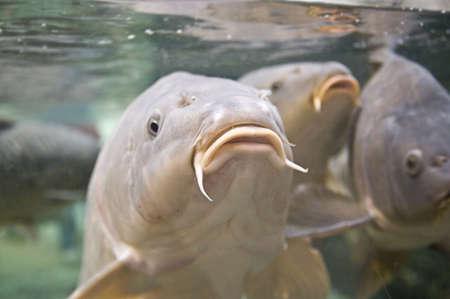 mirror carp: Carp Stock Photo