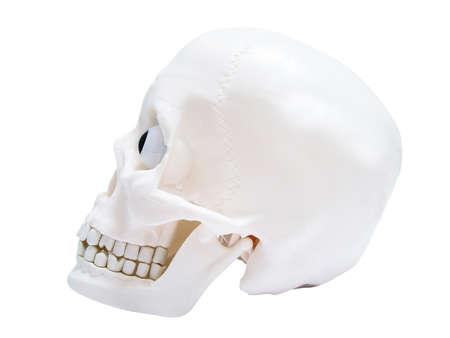 Model skull photo