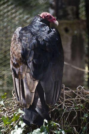 turkey vulture: Turkey vulture
