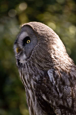 Great Grey Owl photo