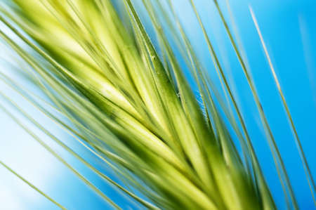 green barley  photo