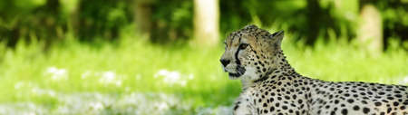 Cheetah Stock Photo - 7131013