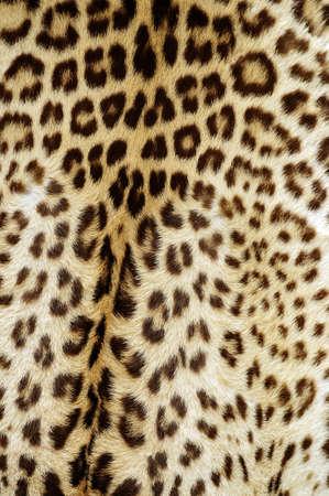 piel morena: piel de leopardo Foto de archivo